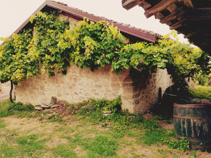 A vineyard house overgrown with vines
